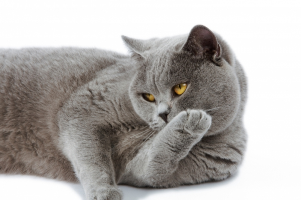 british+shorthair+lie+down-images-photos-animal-000036 15594
